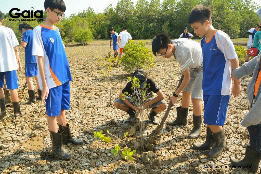Trồng cây Cóc trắng khôi phục rừng ngập mặn
