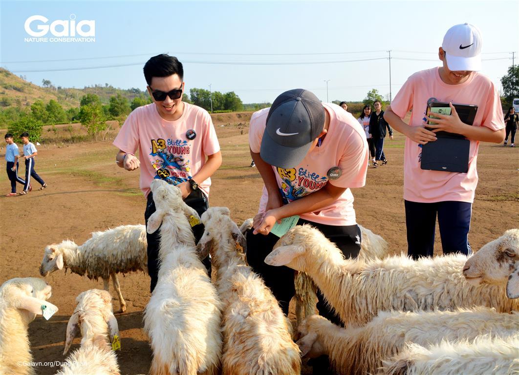Các học sinh thích thú cho cừu ăn.
