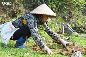 Một người dân đang vùi đất trồng cây sưa.