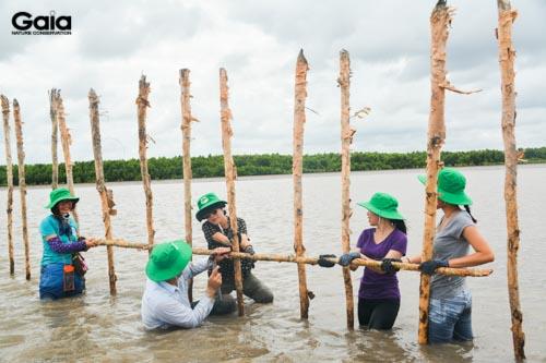 Bà Đỗ Thị Thanh Huyền (trái) Giám đốc Trung tâm Bảo tồn Thiên nhiên Gaia và ông Nguyễn Văn Sự (giữa) Trưởng Phòng Khoa học kỹ thuật Qườn Quốc gia Mũi Cà Mau và Bà Thái Minh Châu (phải) Giám đốc Phục Hưng Books đang dựng hàng rào bẫy giữ hạt mắm để phát triển thành rừng.